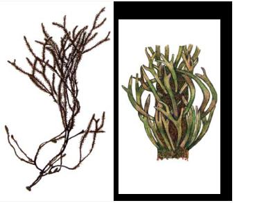 Cladostephus verticillatus (Lightf.) C. Agardh /= C. spongiosus (Huds.) C. Agardh f. verticillatus (Lightf.) Prud'houme van Reine/
