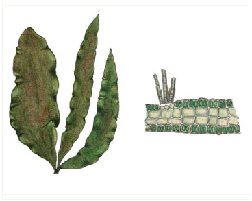 Пунктарія широколиста (Punctaria latifolia Grev.)