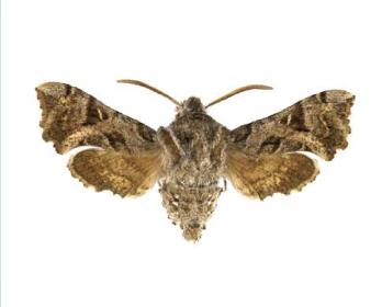 Бражник карликовый (горгон) (Sphingonaepiopsis gorgoniades (Hübner, 1819))