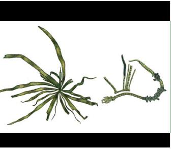 Пунктария волнистая (Punctaria tenuissima (C. Agardh) Grev. /=Desmotrichum undulatum (J. Agardh) Reinke/)