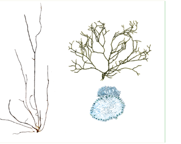 Stilophora tenella (Esper) P.C. Silva /= S. rhizodes (Turn.) J. Agardh/
