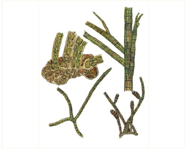 Sphacelaria nana Nägeli ex Kütz. /=Sphacelaria saxatilis (Kuck.) Sauv./
