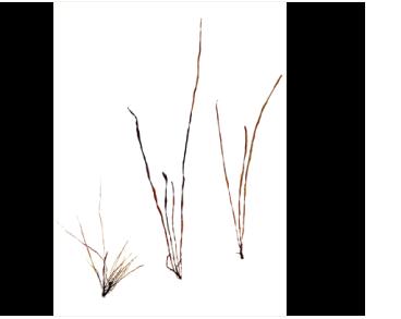 Петалонія зостеролисна (Petalonia zosterifolia (Reinke) Kuntze)
