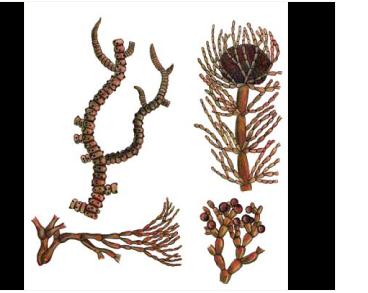 Батрахоспермум внешнеплодный (Batrachospermum ectocarpum Sirodot)