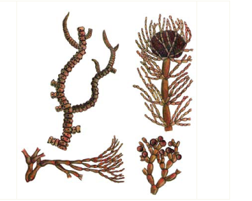 Батрахоспермум зовнішньоплідний (Batrachospermum ectocarpum Sirodot)
