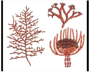Гельминтора растопыренная (Helminthora divaricata (C. Agardh) J. Agardh)