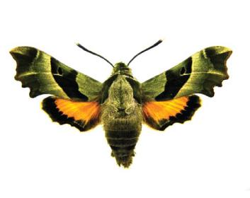 Бражник прозерпина (Proserpinus proserpina (Pallas, 1772))