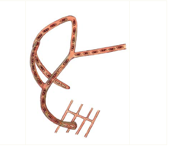 Хроодактилон розгалужений (Chroodactylon ramosum (Thwait.) Hansg. /=Asterocystis ramosa (Thwait) Gobi/)