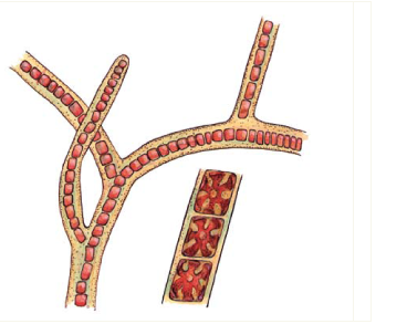 Стілонема альсідії Стилонема альсиди (Stylonema alsidii (Zanardini) K.M. Drew (= Goniotrichum elegans (Chauv.) Zanard.))