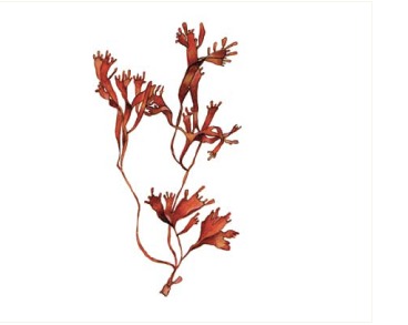 Phyllophora pseudoceranoides (S.G. Gmel.) Newroth et R.A. Taylor