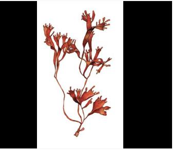 Филлофора псевдорогатая (Phyllophora pseudoceranoides (S.G. Gmel.) Newroth et R.A. Taylor)