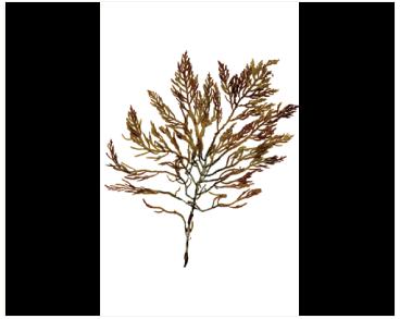 Osmundea hybrida (DC.) K.W. Nam in K.W. Nam, Maggs & Garbary (=Laurencia hybrida (DC) Lenorm.)