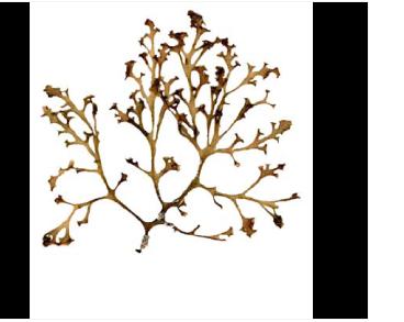 Осмундея срезанная (Osmundea truncata (Kütz.) K.W. Nam et Maggs (= Laurencia pinnatifida (Huds.) Lamour.))