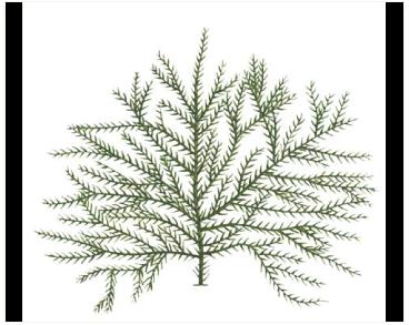 Полісифонія дрібношипова (Polysiphonia spinulosa Grev.)