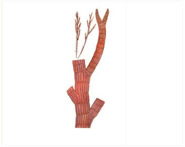 Pterosiphonia pennata (C. Agardh) Sauv.