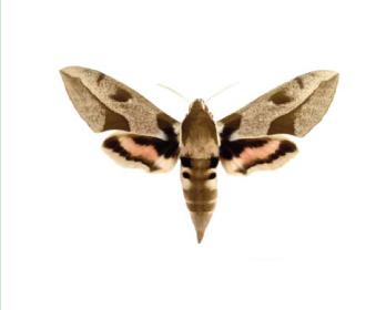 Бражник южный молочайный (Hyles nicaea (De Prunner, 1798))