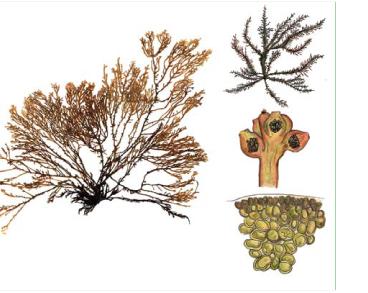 Лауренция (лорансия) чашевидная (Laurencia coronopus J. Agardh)