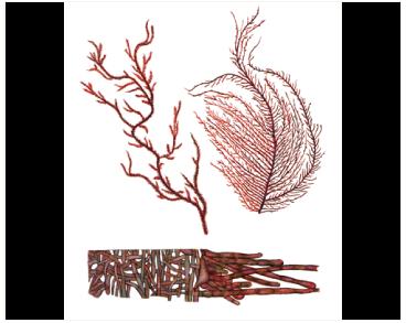 Торея обильноветвистая (Thorea ramosissima Bory)