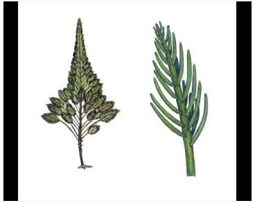 Бріопсіс адріатичний (Bryopsis adriatica (J. Agardh) Menegh.)