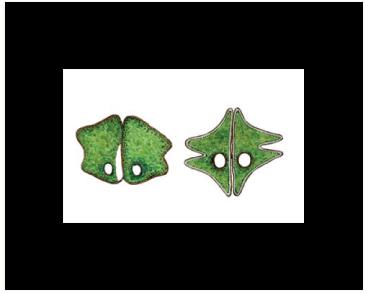 Евастропсис Рихтера (Euastropsis richteri (Schmidle) Lagerh.)