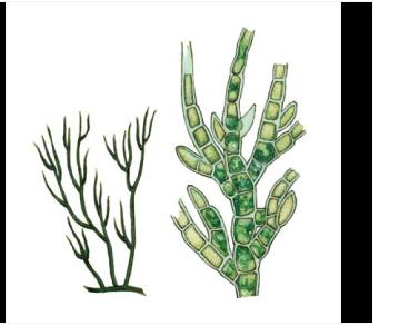 Стигеохлоний пучковатый (Stigeoclonium fasciculare Kütz.)
