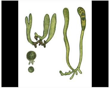 Сифонокладус маленький (Siphonocladus pusillus (Kütz.) Hauck)