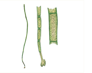 Хетоморфа Зернова (Chaetomorpha zernovii Woronich.)
