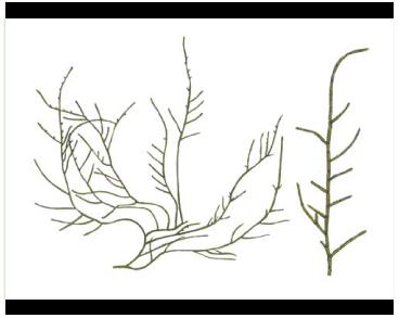 Кладофора вадорська (Cladophora vadorum (Aresch.) Kütz.)