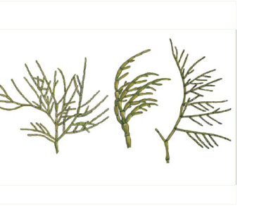 Кладофора далматская (Cladophora dalmatica Kütz.)