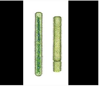 Gonatozygon pilosum Wolle