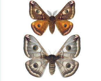 Сатурнія мала (Eudia pavonia (Linnaeus, 1758))