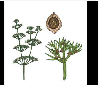 Нітела струнка (Nitella gracilis (J.E. Sm.) C. Agardh)