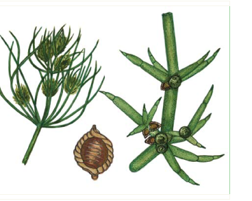 Толипелла пролиферирующая (Tolypella prolifera (Ziz. ex A. Braun) Leonhar.)