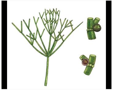 Нителлопсис притупленный (Nitellopsis obtusa (Desv. in Loisel) J. Groves)