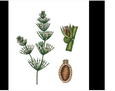 Хара Брауна (Chara braunii C.C. Gmellin)