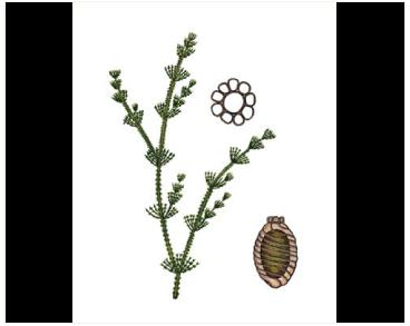 Хара сивіюча (Chara canescens Desv. et Loisel in Loisel)