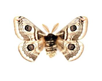Павлиноглазка терновая (Eudia spini ([Denis & Schifermüller], 1775))
