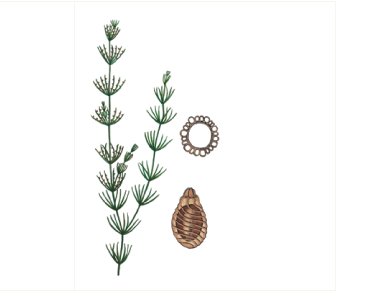 Хара изящная (Chara delicatula C. Agardh)