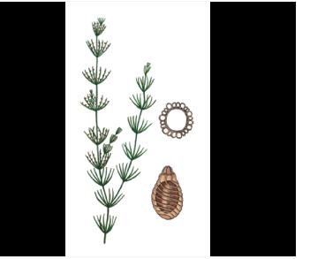 Хара витончена (Chara delicatula C. Agardh)
