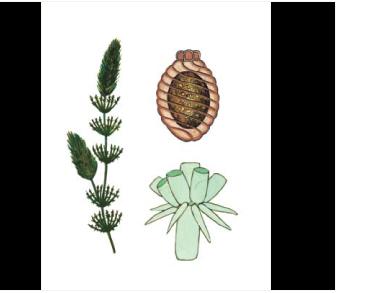 Лампротамниум пупырчастый (Lamprothamnium papullosum (Wallroth) J. Groves)