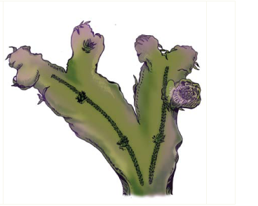 Аталамія Спатиза (Athalamia spathysii (Lindenb.) S.Hatt. (Clevea spathysii (Lindenb.) Müll.Frib.))