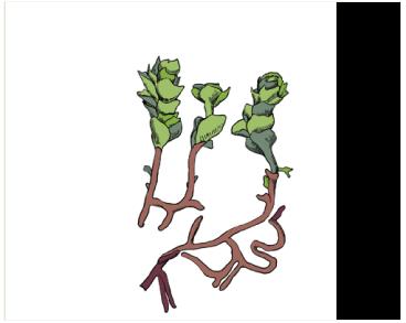 Гапломитриум Хукера (Гукера) (Haplomitrium hookeri (Sm.) Nees)