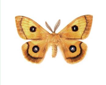 Павлиноглазка рыжая (Aglia tau (Linnaeus, 1758))
