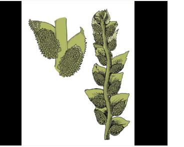 Кололеженея Россетта (Cololejeunea rossettiana (C.Massal.) Schiffn.)