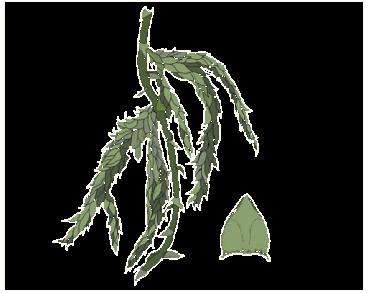 Сфагнум балтийский (Sphagnum balticum (Russow) C. E. O. Jensen)