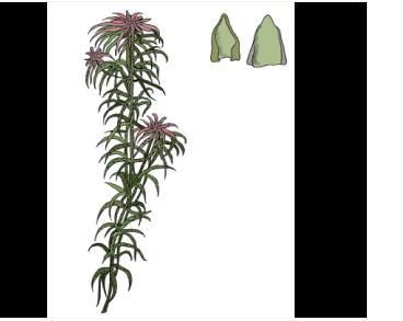 Сфагнум блестящий (Sphagnum subnitens Russow et Warnst. (Sphagnum plumulosum Röll))
