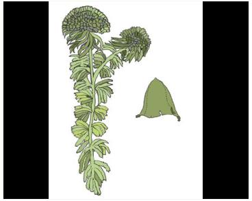 Сфагнум Вульфа (Sphagnum wulfianum Girg.)