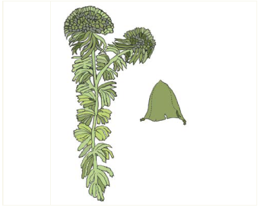 Sphagnum wulfianum Girg.