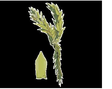Sphagnum molle Sull.