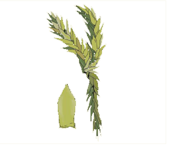 Сфагн м'який (Sphagnum molle Sull.)